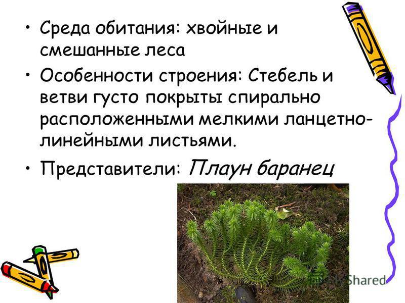 Среда обитания: хвойные и смешанные леса Особенности строения: Стебель и ветви густо покрыты спирально расположенными мелкими ланцет но- линейными листьями. Представители: Плаун баранец