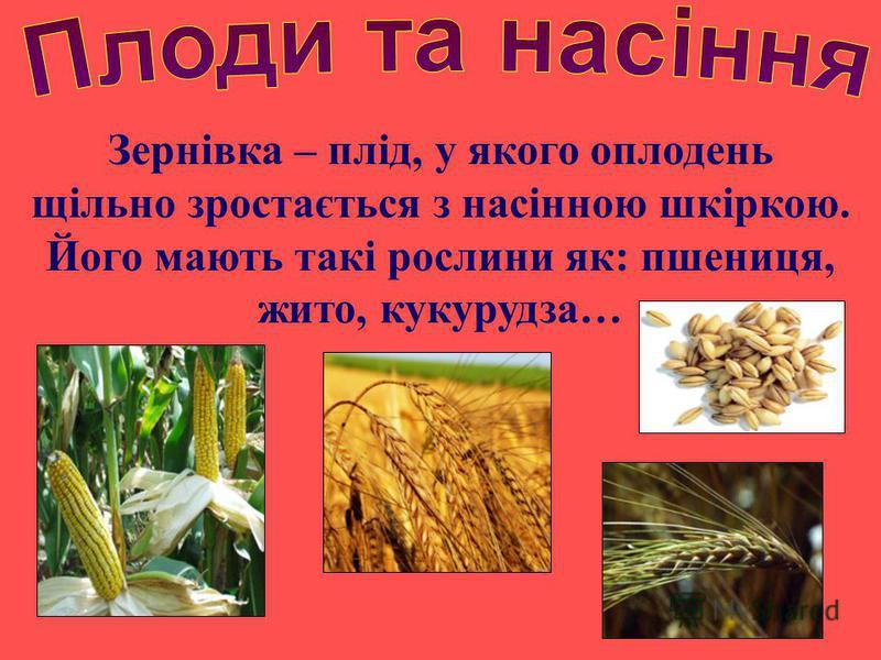 Зернівка – плід, у якого оплодень щільно зростається з насінною шкіркою. Його мають такі рослини як: пшениця, жито, кукурудза…