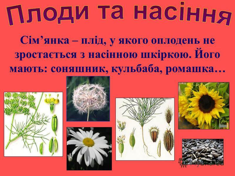Сімянка – плід, у якого оплодень не зростається з насінною шкіркою. Його мають: соняшник, кульбаба, ромашка…
