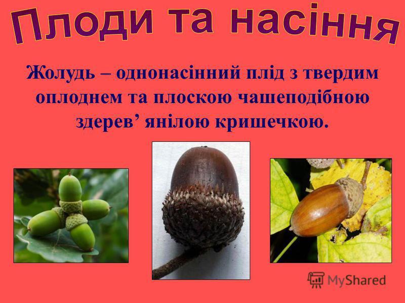Жолудь – однонасінний плід з твердим оплоднем та плоскою чашеподібною здерев янілою кришечкою.
