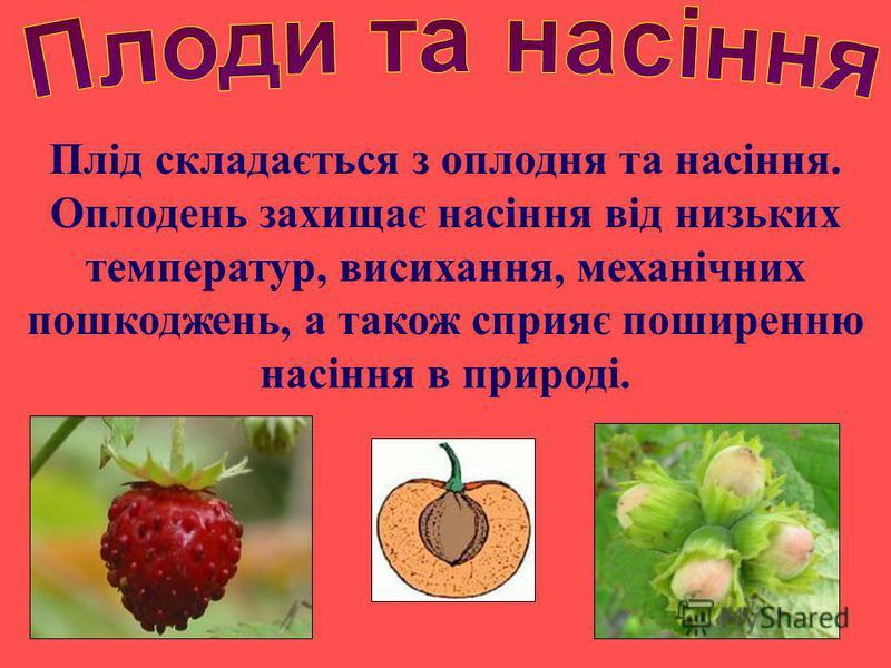 Плід складається з оплодня та насіння. Оплодень захищає насіння від низьких температур, висихання, механічних пошкоджень, а також сприяє поширенню насіння в природі.
