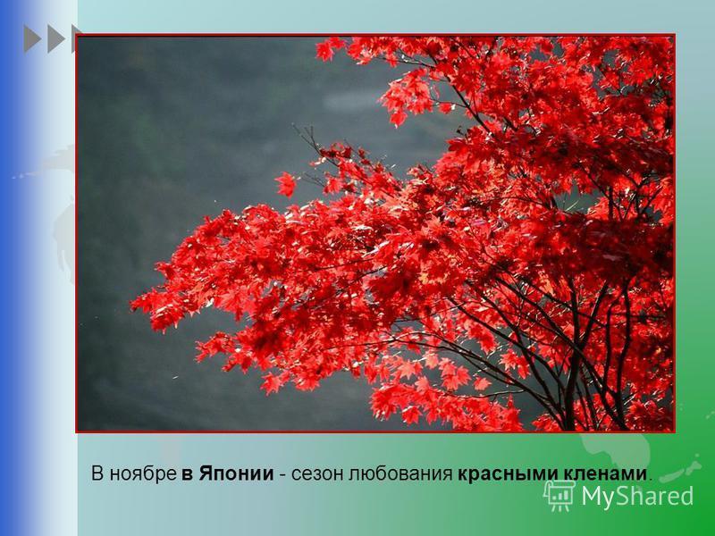 В ноябре в Японии - сезон любования красными кленами.