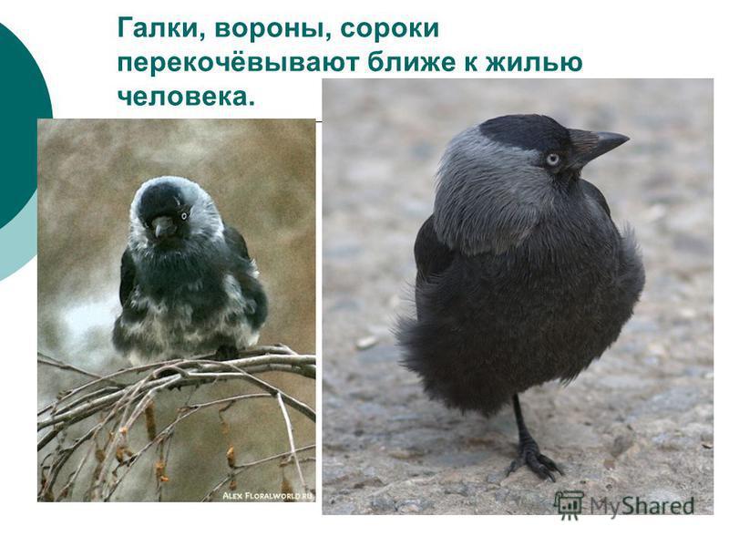 Галки, вороны, сороки перекочёвывают ближе к жилью человека.