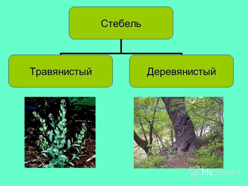 Стебель Травянистый Деревянисты й