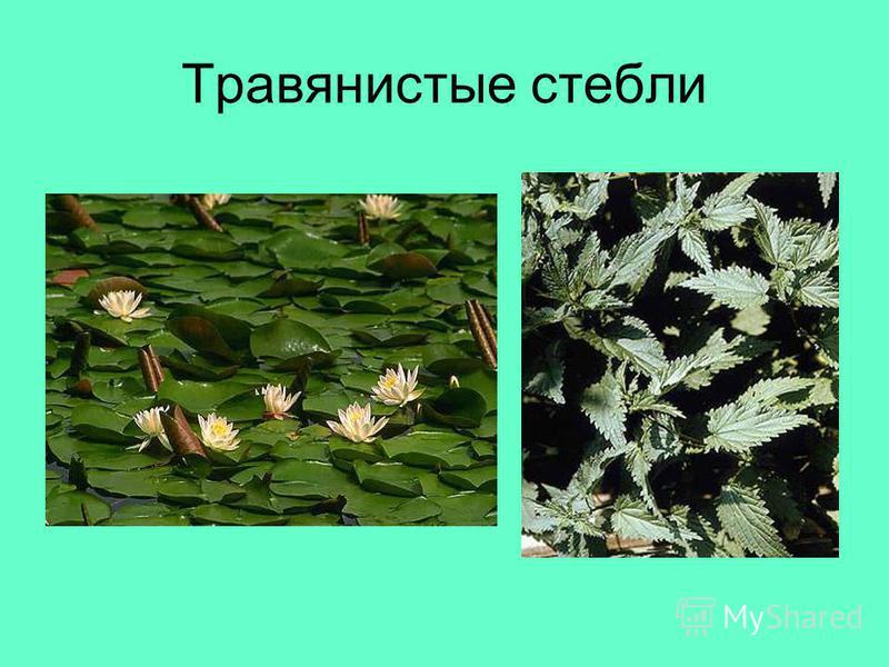 Травянистые стебли