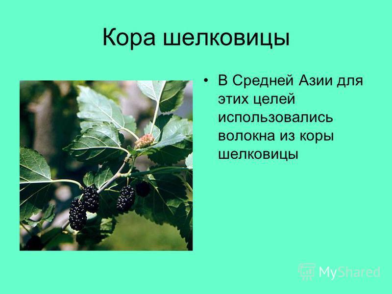 Кора шелковицы В Средней Азии для этих целей использовались волокна из коры шелковицы