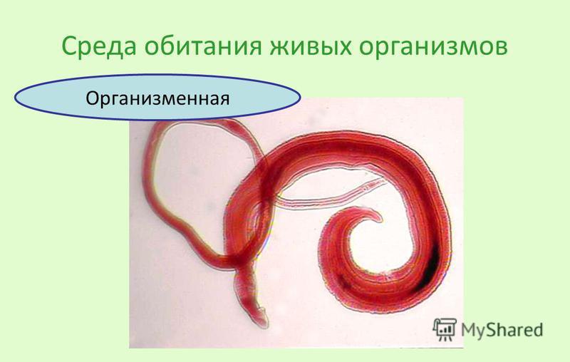Среда обитания живых организмов Организменная
