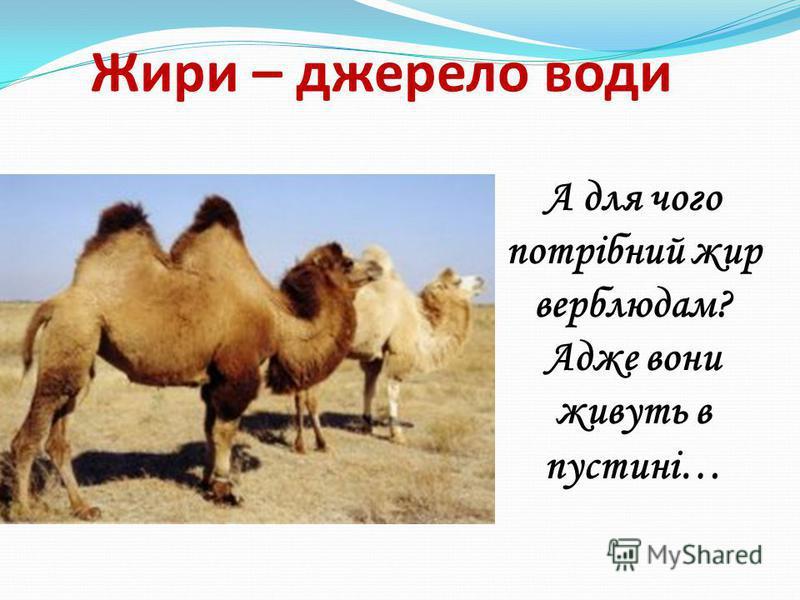 А для чого потрібний жир верблюдам? Адже вони живуть в пустині… Жири – джерело води