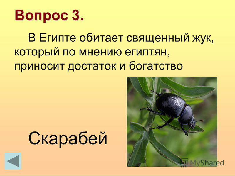 Вопрос 3. В Египте обитает священный жук, который по мнению египтян, приносит достаток и богатство Скарабей