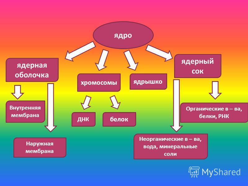 ядро ядерная оболочка хромосомы ДНК белок ядрышко ядерный сок Органические в – ва, белки, РНК Неорганические в – ва, вода, минеральные соли Внутренняя мембрана Наружная мембрана