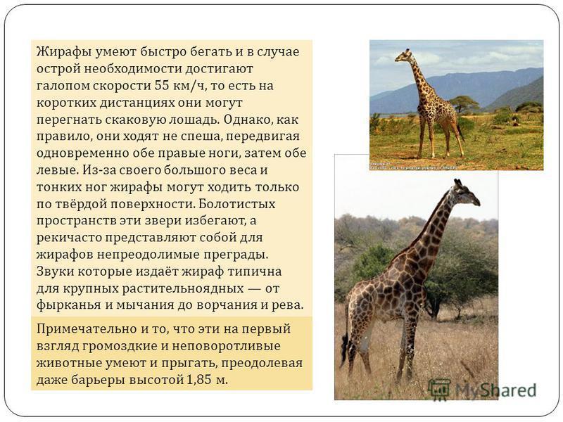 Жирафы умеют быстро бегать и в случае острой необходимости достигают галопом скорости 55 км/ч, то есть на коротких дистанциях они могут перегнать скаковую лошадь. Однако, как правило, они ходят не спеша, передвигая одновременно обе правые ноги, затем