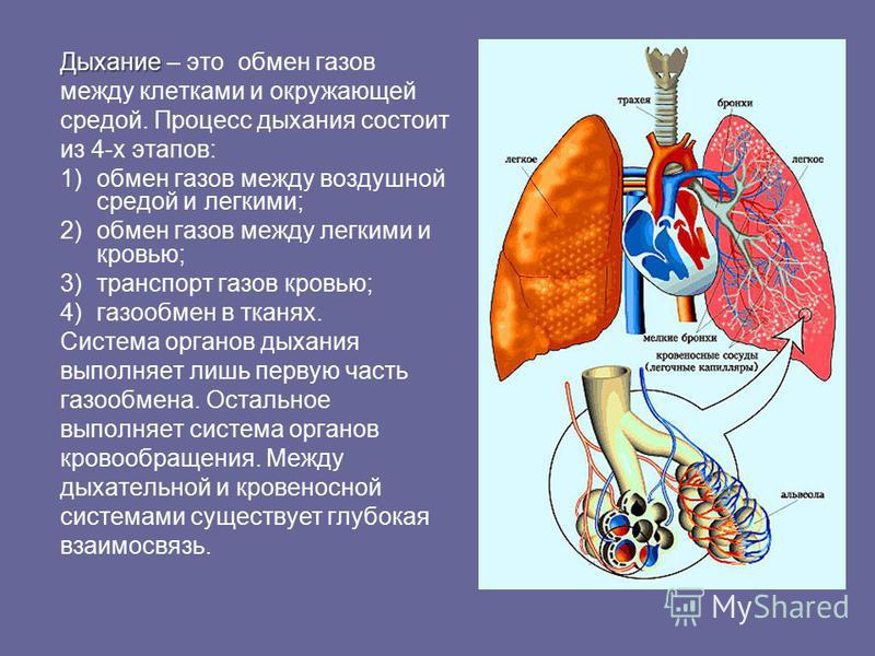 Дыхание Дыхание – это обмен газов между клетками и окружающей средой. Процесс дыхания состоит из 4-х этапов: 1)обмен газов между воздушной средой и легкими; 2)обмен газов между легкими и кровью; 3)транспорт газов кровью; 4)газообмен в тканях. Система
