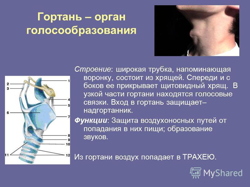Гортань – орган голосообразования Строение: широкая трубка, напоминающая воронку, состоит из хрящей. Спереди и с боков ее прикрывает щитовидный хрящ. В узкой части гортани находятся голосовые связки. Вход в гортань защищает– надгортанник. Функции: За