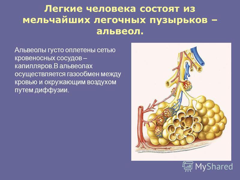 Легкие человека состоят из мельчайших легочных пузырьков – альвеол. Альвеолы густо оплетены сетью кровеносных сосудов – капилляров.В альвеолах осуществляется газообмен между кровью и окружающим воздухом путем диффузии.