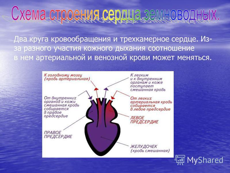 Два круга кровообращения и трехкамерное сердце. Из- за разного участия кожного дыхания соотношение в нем артериальной и венозной крови может меняться.