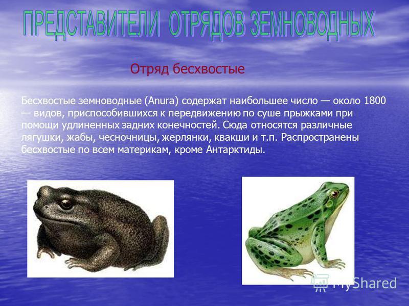 Отряд бесхвостые Бесхвостые земноводные (Anura) содержат наибольшее число около 1800 видов, приспособившихся к передвижению по суше прыжками при помощи удлиненных задних конечностей. Сюда относятся различные лягушки, жабы, чесночницы, жерлянки, квакш