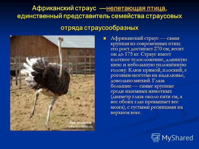 Африканский страус нелетающая птица, единственный представитель семейства страусовых отряда страусообразных нелетающая птица нелетающая птица - Африканский страус самая крупная из современных птиц: его рост достигает 270 см; весит он до 175 кг. Страу