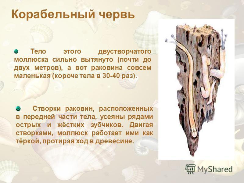 Створки раковин, расположенных в передней части тела, усеяны рядами острых и жёстких зубчиков. Двигая створками, моллюск работает ими как тёркой, протирая ход в древесине. Тело этого двустворчатого моллюска сильно вытянуто (почти до двух метров), а в