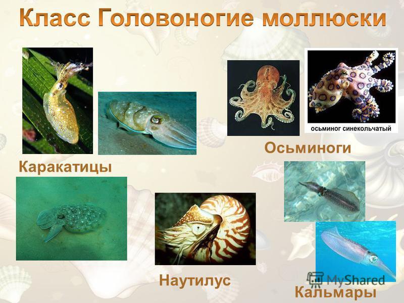 Каракатицы Осьминоги Кальмары Наутилус