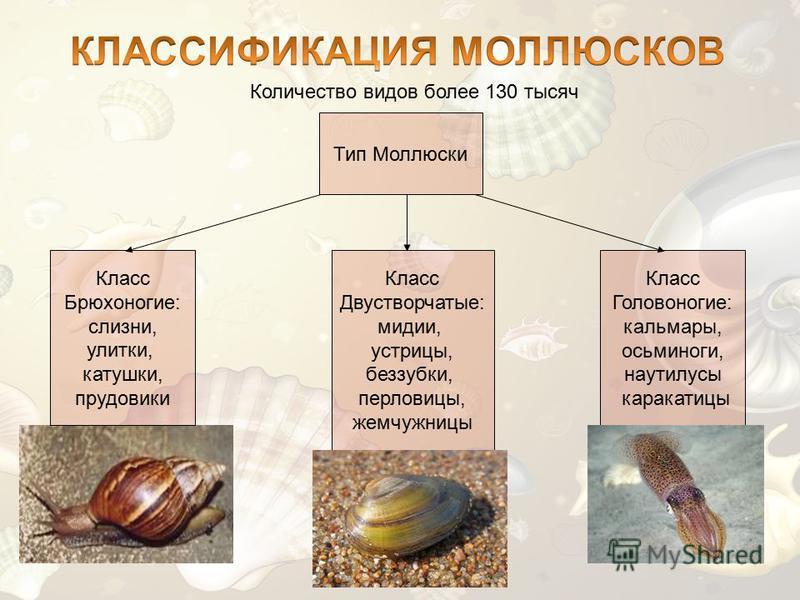 Количество видов более 130 тысяч Тип Моллюски Класс Брюхоногие: слизни, улитки, катушки, прудовики Класс Двустворчатые: мидии, устрицы, беззубки, перловицы, жемчужницы Класс Головоногие: кальмары, осьминоги, наутилусы каракатицы