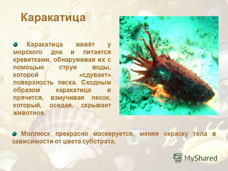 Каракатица Каракатица живёт у морского дна и питается креветками, обнаруживая их с помощью струи воды, которой «сдувает» поверхность песка. Сходным образом каракатица и прячется, взмучивая песок, который, оседая, скрывает животное. Моллюск прекрасно