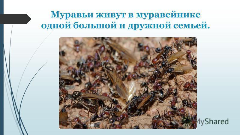 Муравьи живут в муравейнике одной большой и дружной семьей.