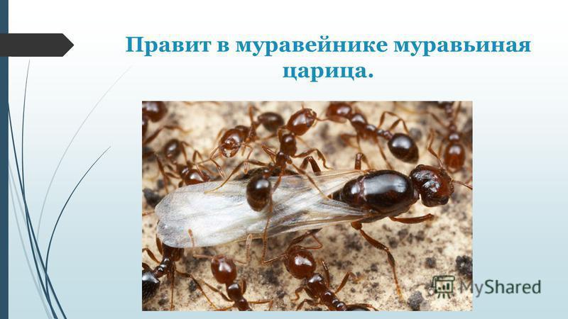 Правит в муравейнике муравьиная царица.