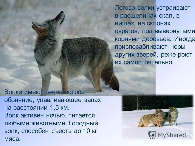 Логово волки устраивают в расщелинах скал, в нишах, на склонах оврагов, под вывернутыми корнями деревьев. Иногда приспосабливают норы других зверей, реже роют их самостоятельно. Волки имеют очень острое обоняние, улавливающее запах на расстоянии 1,5