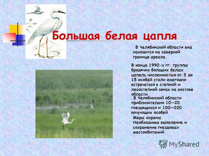 Большая белая цапля В Челябинской области вид находится на северной границе ареала. В конце 1990-х гг. группы бродячих больших белых цапель численностью от 3 до 15 особей стали ежегодно встречаться в степной и лесостепной зонах на востоке области.. В