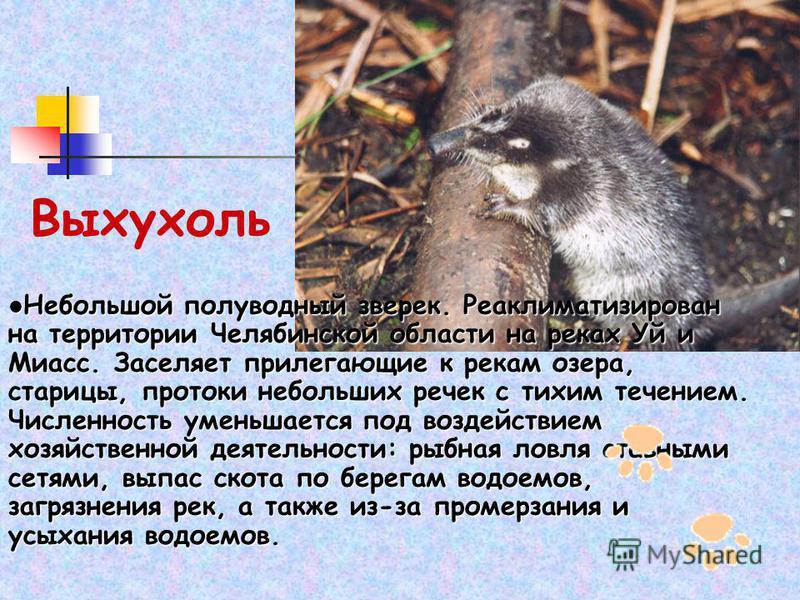 Выхухоль Небольшой полуводный зверек. Реаклиматизирован на территории Челябинской области на реках Уй и Миасс. Заселяет прилегающие к рекам озера, старицы, протоки небольших речек с тихим течением. Численность уменьшается под воздействием хозяйственн