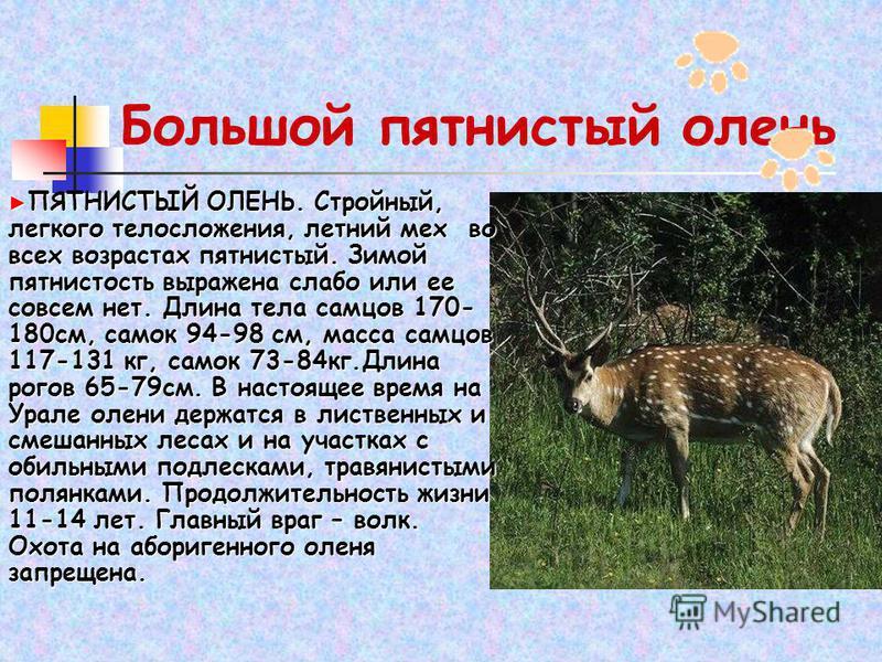 Большой пятнистый олень ПЯТНИСТЫЙ ОЛЕНЬ. Стройный, легкого телосложения, летний мех во всех возрастах пятнистый. Зимой пятнистость выражена слабо или ее совсем нет. Длина тела самцов 170- 180 см, самок 94-98 см, масса самцов 117-131 кг, самок 73-84 к