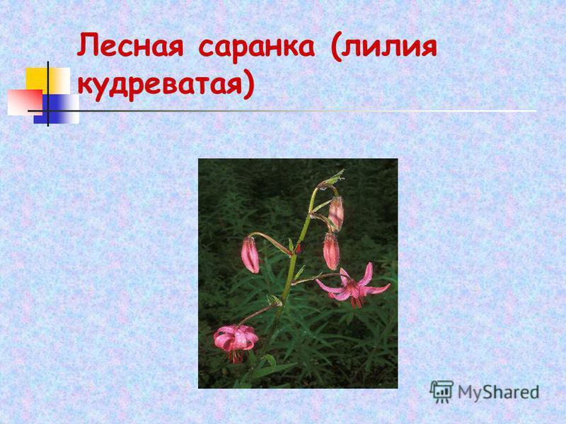 Лесная саранка (лилия кудреватая)