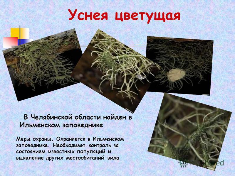 Уснея цветущая В Челябинской области найден в Ильменском заповеднике Меры охраны. Охраняется в Ильменском заповеднике. Необходимы контроль за состоянием известных популяций и выявление других местообитаний вида