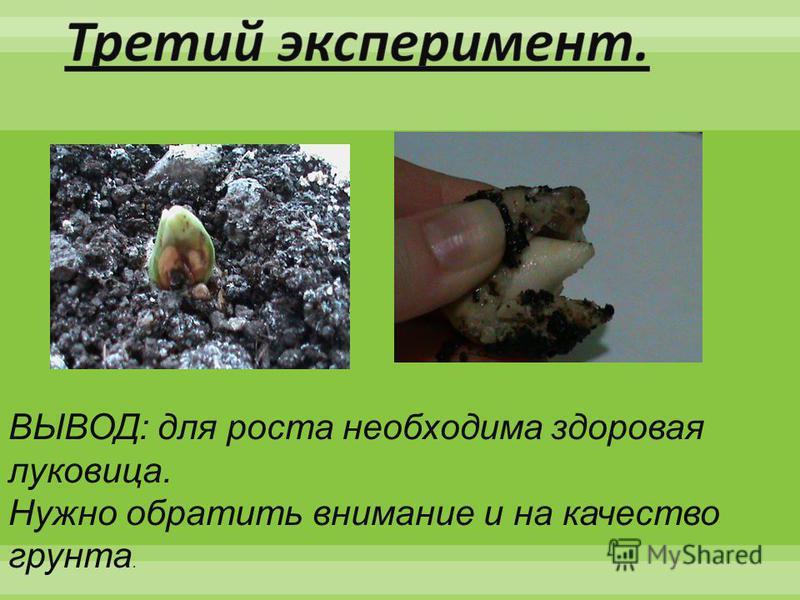 ВЫВОД: для роста необходима здоровая луковица. Нужно обратить внимание и на качество грунта.
