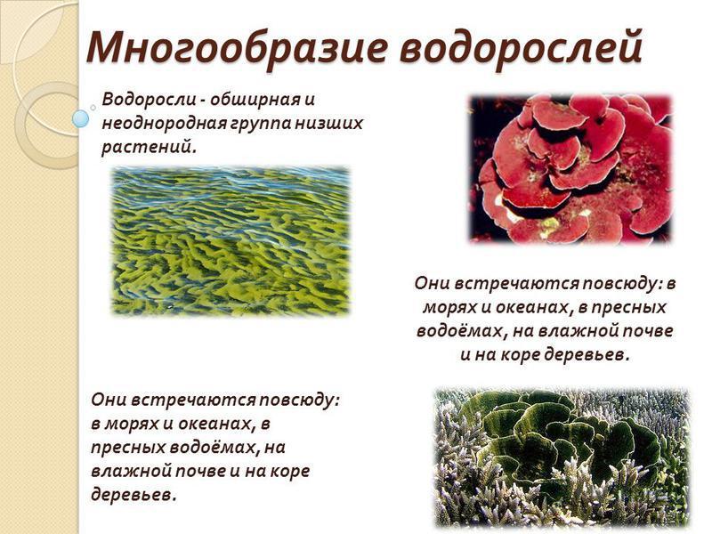 Многообразие водорослей Водоросли - обширная и неоднородная группа низших растений. Они встречаются повсюду : в морях и океанах, в пресных водоёмах, на влажной почве и на коре деревьев.