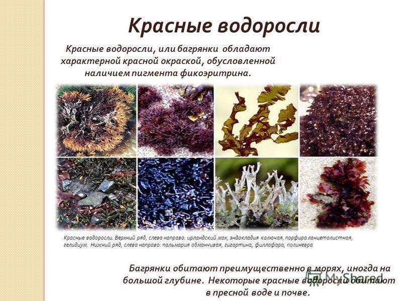 Красные водоросли Красные водоросли, или багрянки обладают характерной красной окраской, обусловленной наличием пигмента фикоэритрина. Красные водоросли. Верхний ряд, слева направо : ирландский мох, эндокладия колючая, порфира ланцетолистная, гелидиу