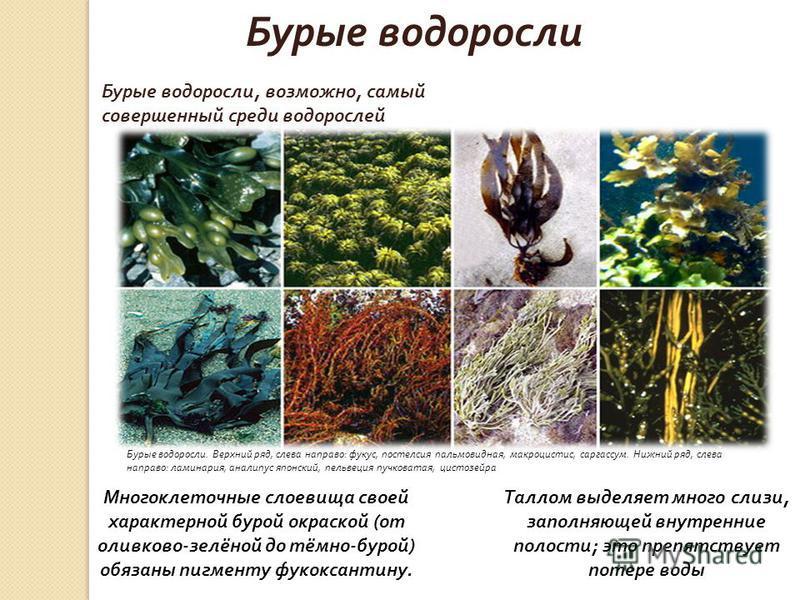 Бурые водоросли Бурые водоросли. Верхний ряд, слева направо: фукус, постелсия пальмовидная, макроцистис, саргассум. Нижний ряд, слева направо: ламинария, аналипус японский, пельвеция пучковатая, цистозейра Бурые водоросли, возможно, самый совершенный