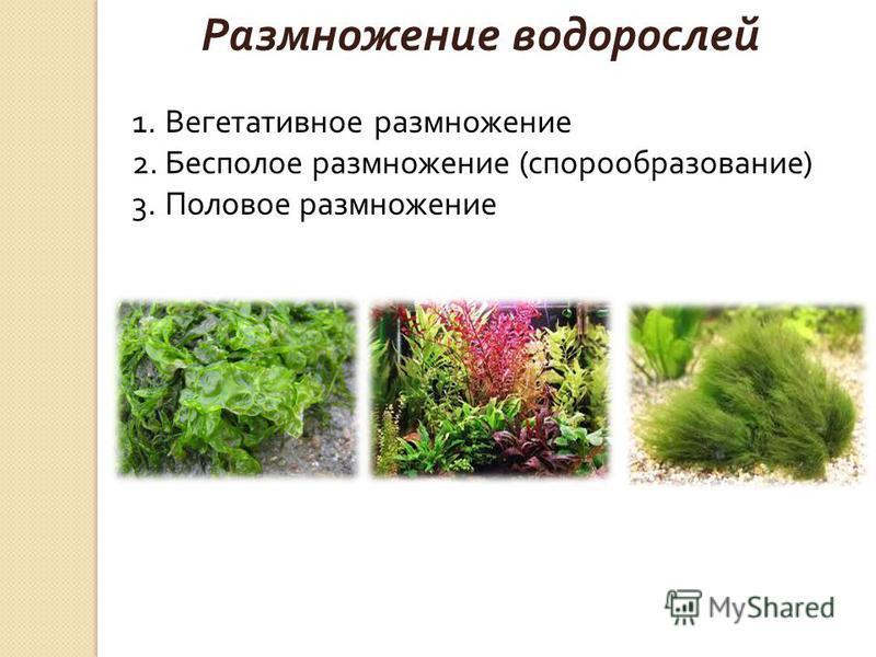Размножение водорослей 1. Вегетативное размножение 2. Бесполое размножение (спорообразование) 3. Половое размножение