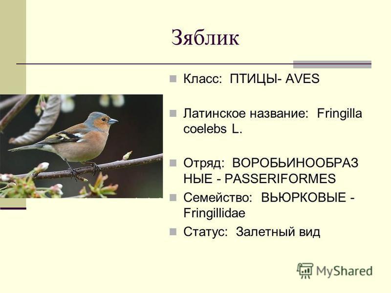 Зяблик Класс: ПТИЦЫ- AVES Латинское название: Fringilla coelebs L. Отряд: ВОРОБЬИНООБРАЗ НЫЕ - PASSERIFORMES Семейство: ВЬЮРКОВЫЕ - Fringillidae Статус: Залетный вид