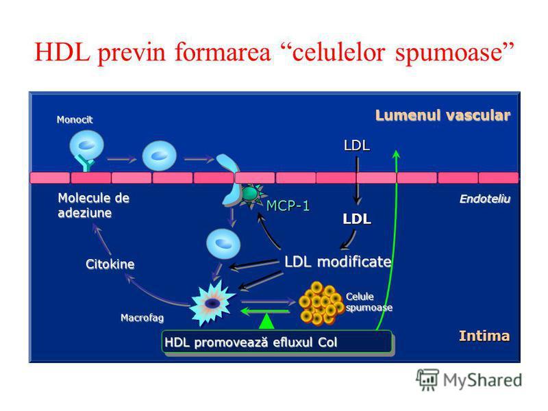 HDL previn formarea celulelor spumoase LDL LDL Miyazaki A et al. Biochim Biophys Acta 1992;1126:73-80. Endoteliu Lumenul vascular Monocit LDL modificate Macrofag MCP-1 Molecule de adeziune Citokine Intima HDL promovează efluxul Col Celulespumoase