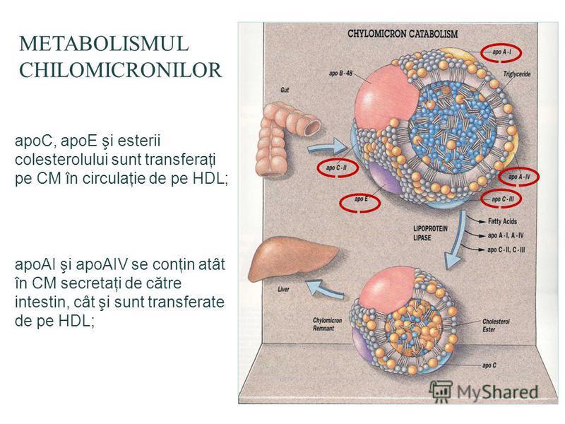 METABOLISMUL CHILOMICRONILOR apoC, apoE şi esterii colesterolului sunt transferaţi pe CM în circulaţie de pe HDL; apoAI şi apoAIV se conţin atât în CM secretaţi de către intestin, cât şi sunt transferate de pe HDL;