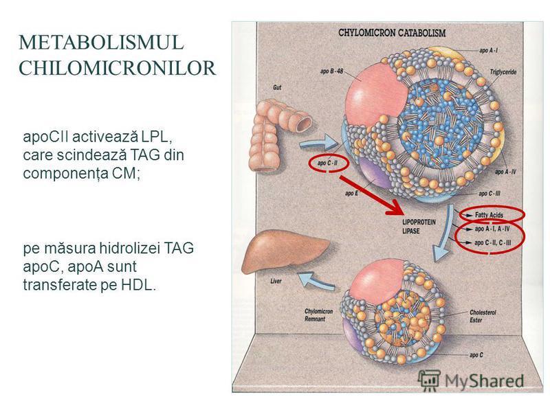 METABOLISMUL CHILOMICRONILOR apoCII activează LPL, care scindează TAG din componenţa CM; pe măsura hidrolizei TAG apoC, apoA sunt transferate pe HDL.