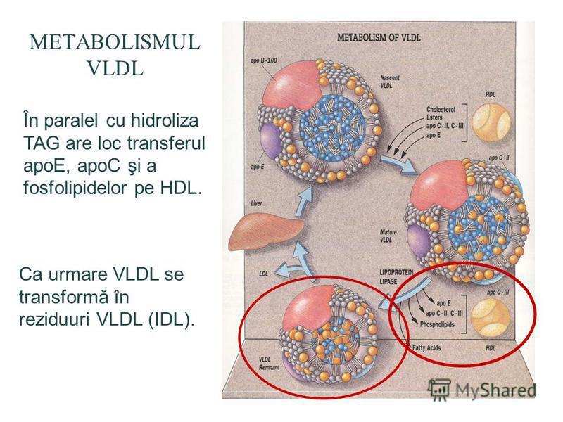 METABOLISMUL VLDL În paralel cu hidroliza TAG are loc transferul apoE, apoC şi a fosfolipidelor pe HDL. Ca urmare VLDL se transformă în reziduuri VLDL (IDL).