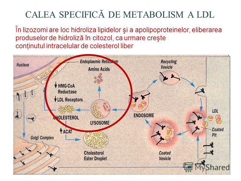 În lizozomi are loc hidroliza lipidelor şi a apolipoproteinelor, eliberarea produselor de hidroliză în citozol, ca urmare creşte conţinutul intracelular de colesterol liber CALEA SPECIFICĂ DE METABOLISM A LDL