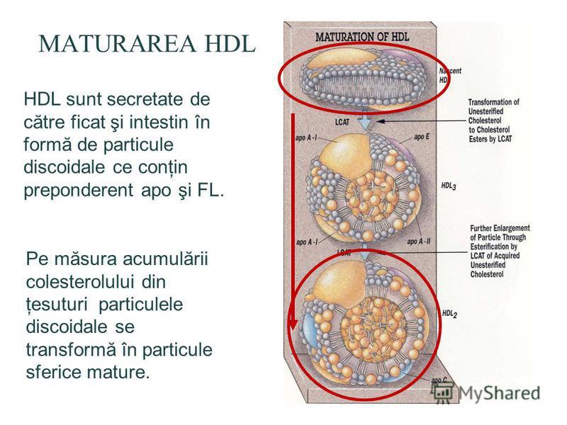 MATURAREA HDL HDL sunt secretate de către ficat şi intestin în formă de particule discoidale ce conţin preponderent apo şi FL. Pe măsura acumulării colesterolului din ţesuturi particulele discoidale se transformă în particule sferice mature.