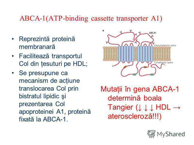ABCA-1(ATP-binding cassette transporter A1) Reprezintă proteină membranară Facilitează transportul Col din ţesuturi pe HDL; Se presupune ca mecanism de acţiune translocarea Col prin bistratul lipidic şi prezentarea Col apoproteinei A1, proteină fixat