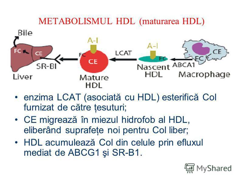 METABOLISMUL HDL (maturarea HDL) enzima LCAT (asociată cu HDL) esterifică Col furnizat de către ţesuturi; CE migrează în miezul hidrofob al HDL, eliberând suprafeţe noi pentru Col liber; HDL acumulează Col din celule prin efluxul mediat de ABCG1 şi S