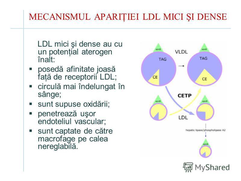 MECANISMUL APARIŢIEI LDL MICI ŞI DENSE LDL mici şi dense au cu un potenţial aterogen înalt: posedă afinitate joasă faţă de receptorii LDL; circulă mai îndelungat în sânge; sunt supuse oxidării; penetrează uşor endoteliul vascular; sunt captate de căt