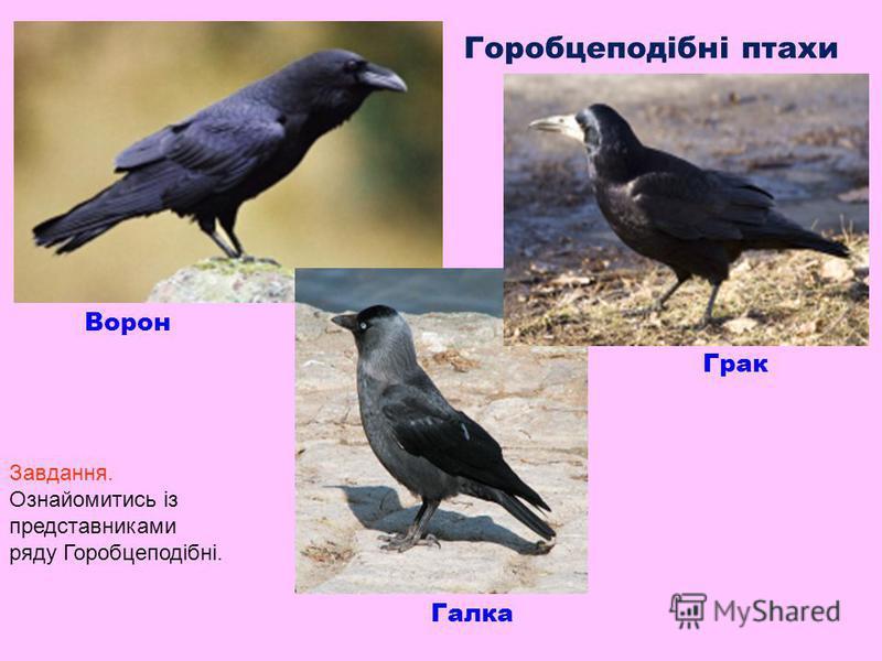 Горобцеподібні птахи Ворон Грак Галка Завдання. Ознайомитись із представниками ряду Горобцеподібні.