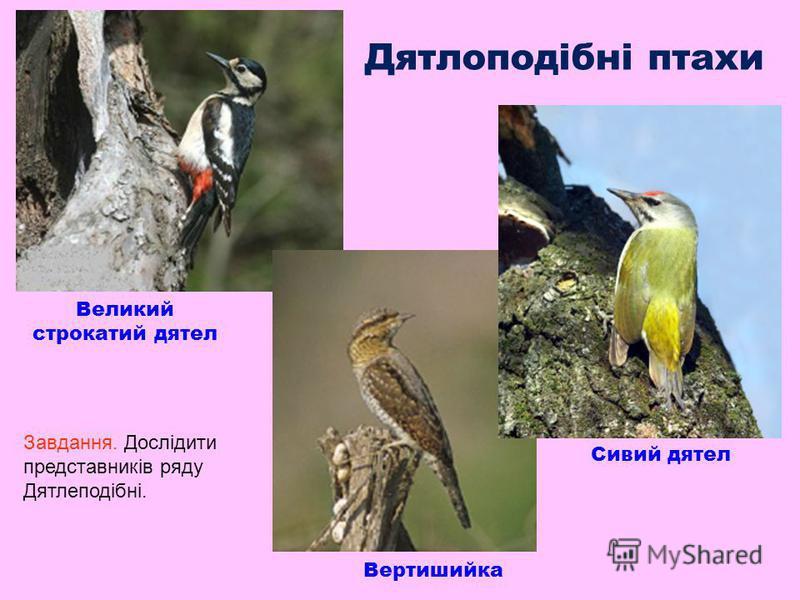 Дятлоподібні птахи Великий строкатий дятел Сивий дятел Вертишийка Завдання. Дослідити представників ряду Дятлеподібні.